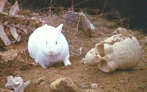 Killer Rabbit of Caerbannog